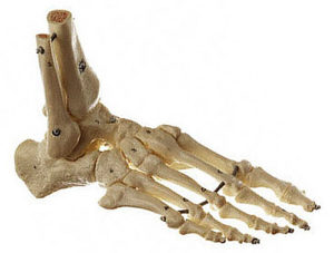 Foot skeleton
